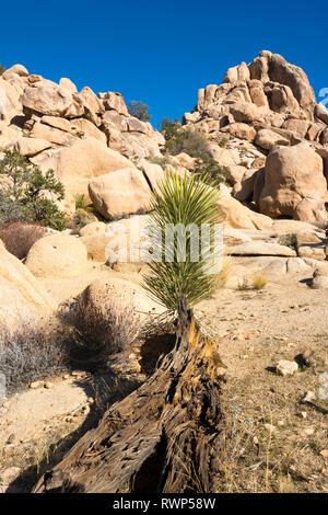 Mojave yucca, or Spanish dagger, Yucca schidigera, Joshua Tree National Park, California, USA - Stock Photo