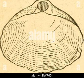 Elements of conchology  Prepared Elements of conchology / Prepared for the use of schools and colleges elementsofconcho00rusc Year: 1844  Fig. 111. TEREBRATUL,A. and a bivalve shell; they have no foot, but in place of it, two fleshy arms furnished with filaments, and susceptible of being un- folded externally, or drawn within the shell by folding spirally (Jig. HI, a); their branchise are not distinct from the mantle, and the mass formed by their viscera is very small. They are unprovided with organs of locomotion, and live attached to submarine bodies. The principal genera composing this grou - Stock Photo