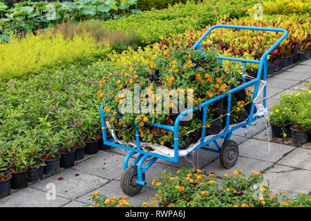 Cart full of flower pots with Lantana camara flowers in gardening. Offer fresh flowers in market on the street of Bangkok. - Stock Photo