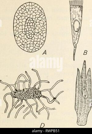 Elements of biology; a practical Elements of biology; a practical text-book correlating botany, zoology, and human physiology elementsofbiolog00hunt Year: [c1907]  METAZOA 189 - Stock Photo
