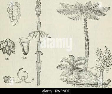 The elements of botany for The elements of botany for beginners and for schools elementsbotany00gray Year: 1887  SECTION 17.] rTERIDOPHYTES. 157 side and discharge a threat mimbor of rrreen spores of a size large enough to be well seen by a hand-glass. The spores are aided in their discharge 494 - Stock Photo
