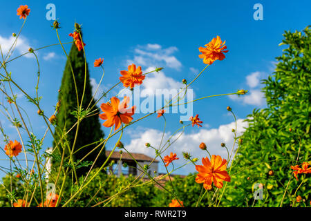 Close up. Beautiful orange flowers with blue sky. Blurred lonely green cypress tree and brown tile roof on in background - Stock Photo