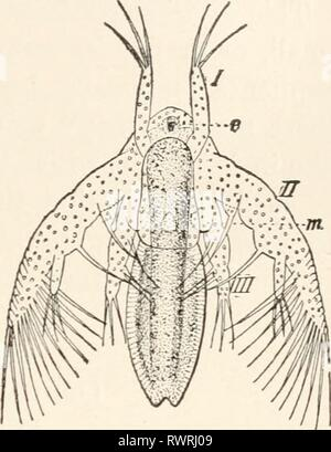 Elements of comparative zoology (1904) Elements of comparative zoology elementsofcompar1904king Year: 1904  CRUSTACEA. 221    the ducts of the reproductive organs open to the exterior in the thoracic region, never in the abdomen. In almost all forms the eggs are carried about by the mother until they are hatched. In almost all the lower Crustacea the young escapes from the egg in a very immature condition, known as a Nauplius (fig. 49), a name given years ago under the be- lief that it was an adult. The nauplius has an unsegmented body, a single median eye, and only three pairs of appendages - - Stock Photo