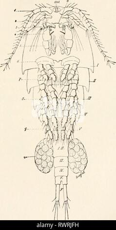 Elements of comparative zoology (1904) Elements of comparative zoology elementsofcompar1904king Year: 1904  CRUSTACEA. 223 they pass through a free-swimming nauplius stage, then attach themselves to a fish, after which the retrogression cat 4..    FIG. 50.—A Copepod (Cyclops). From Hertwig. sets in. It is noticeable that the female becomes much more degenerate than the male. - Stock Photo