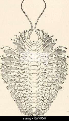 Elements of comparative zoology (1904) Elements of comparative zoology elementsofcompar1904king Year: 1904  CRUSTACEA. 225 animals, the Trilobites (fig. 53), which recent investiga- tions have shown to be crustaceans, but which can- not be more definitely placed within that group. They agree with neither Entomostraca nor Malacos- traca in their structure. They have a flattened body, in which head, thorax, and abdomen are readily dis- tinguished, and in which both thorax and abdomen consist of an axial portion, and two lateral regions or lobes, whence the name of the group. The head bears a pai - Stock Photo
