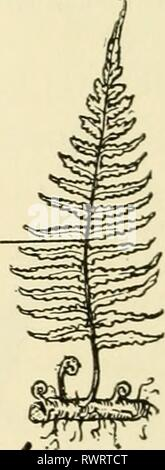 Elements of biology, with special Elements of biology, with special reference to their rôle in the lives of animals elementsofbiolog00buch Year: 1933  LEAFY SPOROPHYTE - Stock Photo