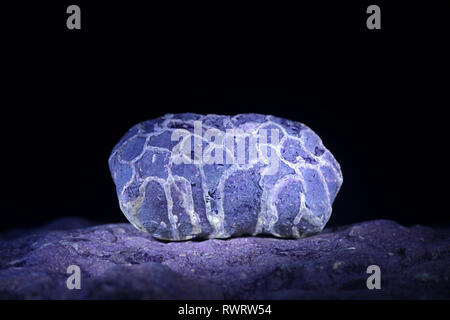 Silurian coral fossil from Saarenmaa in Estonia photographed in ultraviolet light (365 nm) - Stock Photo