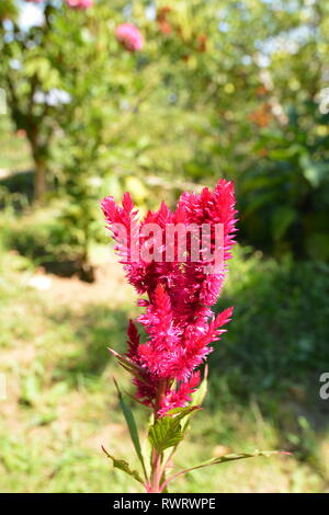 Celosia argentea garden flower - Stock Photo