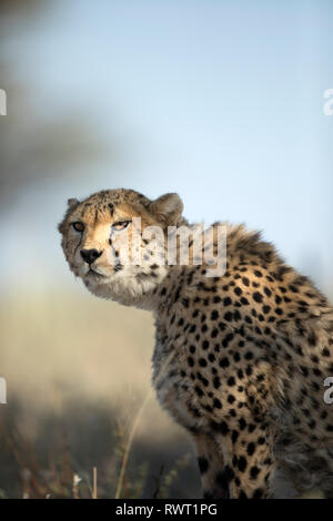 A Cheetah looks on with its golden eyes towards prey. - Stock Photo