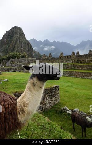 Curious llama in front of Machu Picchu ruins, Peru - Stock Photo
