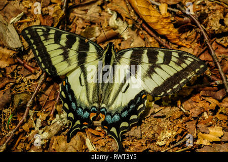 Eastern Tiger Swallowtail Butterfly (Papilio glaucus) in the Adirondack Mountains of New York State