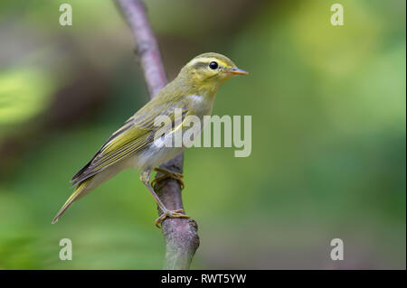 Wood warbler vertical posture on small branch - Stock Photo
