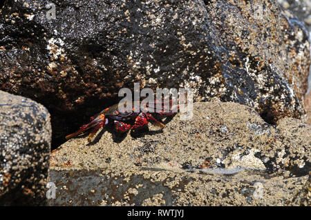 Lightfoot crab (Grapsus adscensionis) on the shoreline of Madeira, Portugal - Stock Photo