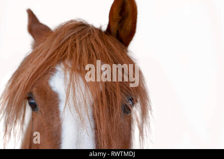 Red horse' half head isolated on a white background - Stock Photo