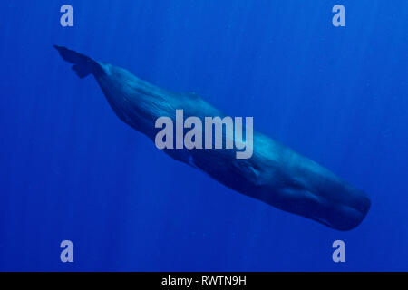 Sperm Whales in Dominica - Stock Photo