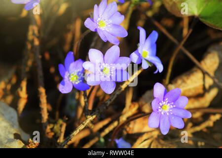 Blue flowers of Hepatica Nobilis also Common Hepatica, liverwort, kidneywort, pennywort, Anemone hepatica. - Stock Photo