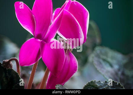 Blooming spring buds of a pink cyclamen flower with dew drops - Stock Photo