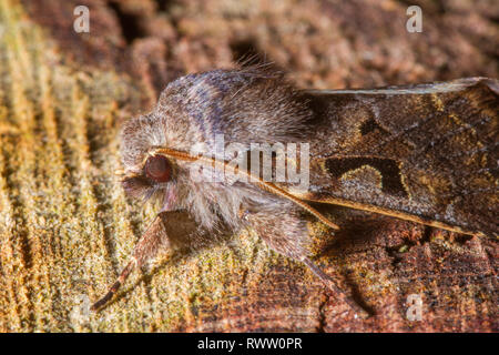 A head profile of a Hebrew Character Moth(Orthosia gothica). - Stock Photo