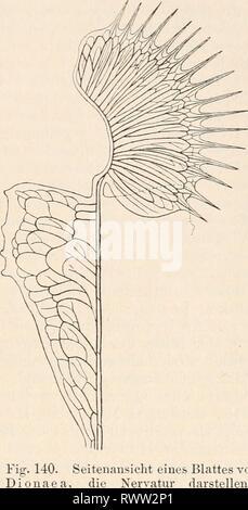 Elektrophysiologie (1895) Elektrophysiologie elektrophysiolog00bied Year: 1895  Die elektromotorisclien Wirkungen pflanzlicher Zellen. 447 Fibrovasalstrang laufen in ziemlieh gleichen aus, welche in der Nähe des Blattrandes ei bilden (Fig. 140). Das Parenchym der Blattflügel besteht durchweg aus länglichen oder langgestreckten Zellen, deren Längsaxen parallel den Hauptsträngen der Seitennerven und senkrecht zur Mittelrippe ver- laufen (Fig. 141), und deren Quer- schnitt (am Längsschnitt des Blattes) kreisförmig erscheint. Zwischen den einzelnen Zellen bestehen grosse Intercellularlücken. Un!er - Stock Photo