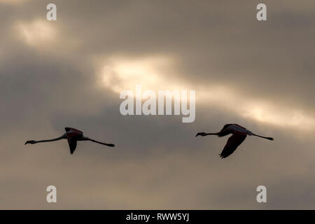 silhouette of two flamingos in flight - Stock Photo