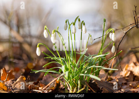 beautiful spring flowers in the forest. Snowdrops in front of blurred  blue sky - Stock Photo