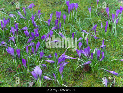 Purple Crocus Flowers in Bloom in a Lawn in a Garden near Carnforth Lancashire England United Kingdom UK - Stock Photo