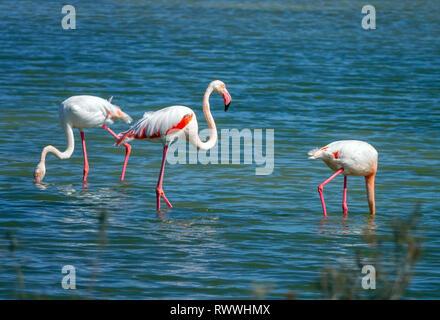 Flamingos feeding in shallow water, The Ebro Delta nature reserve, near Amposta, Catalunya, Spain - Stock Photo