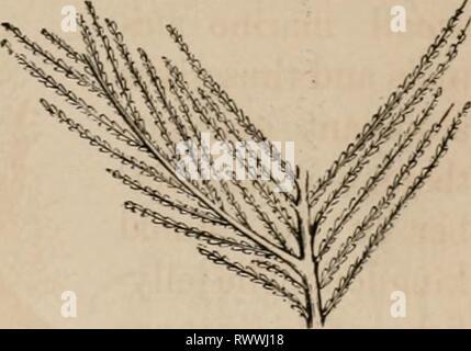 Elements of zoölogy  a Elements of zoölogy : a textbook elementsofzolo00tenn Year: c1875  FIG. C96.    Sertularia. FIG. 697. - Stock Photo