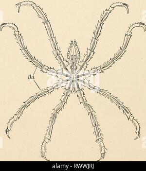 Elementary text-book of zoology (1884) Elementary text-book of zoology elementarytextbo0101clau Year: 1884  496 AEACHNIDA. the Mites and Spiders amongst the Arachnida, although they possess a greater number of appendages than either, inasmuch as the males have an accessory pair of legs, used in carrying the eggs (fig. 389, A B}. They are small animals with a conical suctorial proboscis and rudimentary abdomen (reduced to a tubercle); and they live in the sea, and crawl slowly about amongst the sea-weeds. There are four pairs of very long, many-jointed legs, which contain tubular cliver- ticula - Stock Photo