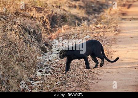 the elusive Black panther, melanistic  Indian leopard, (Panthera pardus fusca), Kabini, Nagarhole Tiger Reserve, Karnataka, India - Stock Photo