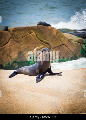 Sea wolf on the rocks in Cabo Polonio, coast of Uruguay - Stock Photo