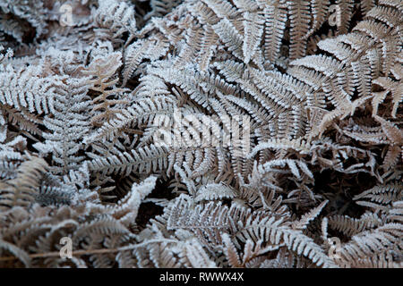 Dead Bracken on heathland covered in frost early on a winters morning - Stock Photo