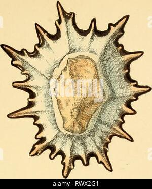 Elements of conchology  an Elements of conchology : an introduction to the natural history of shells and of the animals which form them elementsofconcho00reev Year: 1860  4H> - Stock Photo