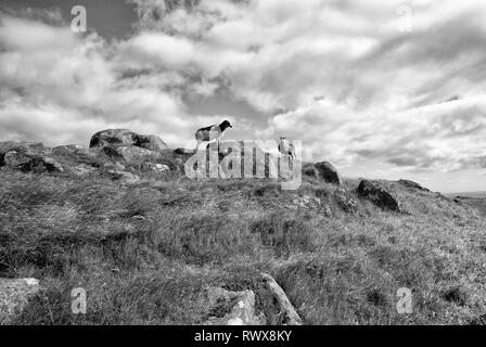 sheep animals with wool standing on hill or mountain top with green grass and stones on blue cloudy sky background in Faroe Islands - Stock Photo