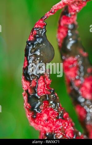 Close up of Devil's Fingers or Octopus Stinkhorn Fungus (Clathrus archeri). Sussex, UK - Stock Photo