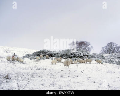 Sheep grazing on snow covered ground. Glen Urquhart, Highland Region, Scotland - Stock Photo