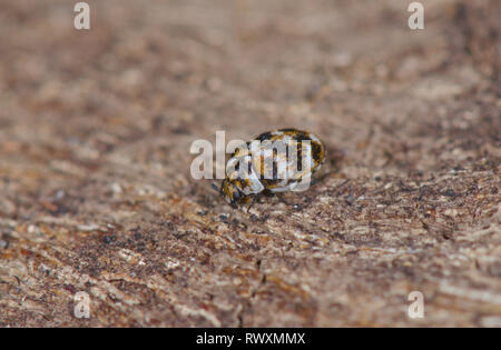 Varied Carpet Beetle (Anthrenus verbasci), Dermestidae. Sussex, UK - Stock Photo