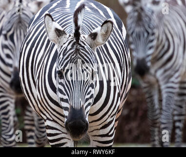 Berlin, Germany. 07th Mar, 2019. Three zebras stand in their grounds at Berlin Zoo. Credit: Monika Skolimowska/dpa-Zentralbild/dpa/Alamy Live News - Stock Photo