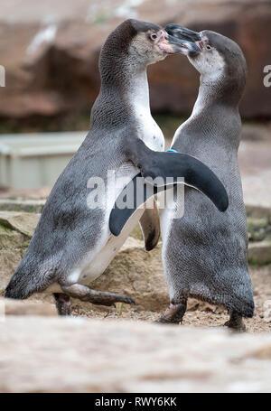 Berlin, Germany. 07th Mar, 2019. Two penguins argue in their outdoor enclosure at Berlin Zoo. Credit: Monika Skolimowska/dpa-Zentralbild/dpa/Alamy Live News - Stock Photo