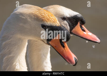 Mute Swan, (Cygnus olor), UK - head side profile portrait of a pair of mated swans on a lake showing plumage detail - Stock Photo