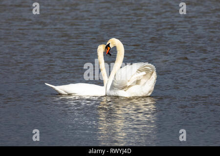 Mute Swan, (Cygnus olor), UK - pair of mated swans on a lake facing each other - Stock Photo