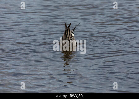 Rear end of a male pintail duck (anas acuta) with its head in the water - Stock Photo