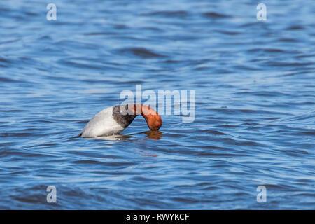 Common Pochard male dive in the lake (Aythya ferina) - Stock Photo