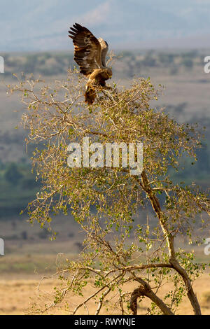 A single adult Tawny eagle landing on top of a small tree, distant view, Lewa Wilderness, Lewa Conservancy, Kenya, Africa - Stock Photo