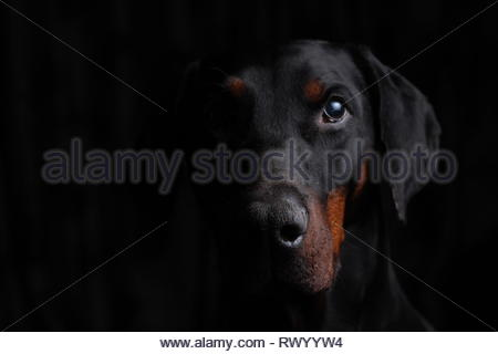 European Dobermann side lit portrait - Stock Photo