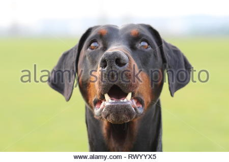 Dobermann portrait. looking up on a bright winters day. Blurred background - Stock Photo