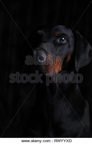 Portrait of a European Dobermann with a black background and side lighting - Stock Photo