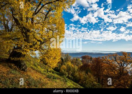 Old large-leaved linden (Tilia platyphyllos) in autumn, Haldenhof, near Sipplingen, Überlingen, Lake Constance - Stock Photo