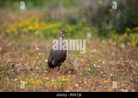 Cape spurfowl (Francolinus capensis), adult foraging in flower meadow, West Coast National Park, Western Cape, South Africa - Stock Photo