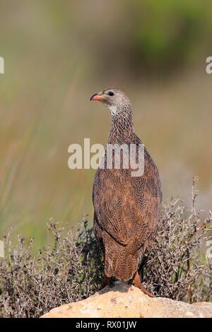 Cape spurfowl (Francolinus capensis), adult on rock, West Coast National Park, Western Cape, South Africa - Stock Photo